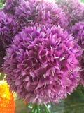 Flores de florescência da alfazema Foto de Stock