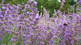Flores de florescência da alfazema com zangões do voo vídeos de arquivo