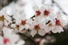 Flores de florescência da amêndoa Foto de Stock