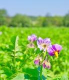 Flores de florescência da batata Imagem de Stock