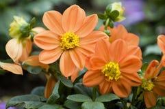 Flores de florescência da dália fotografia de stock