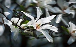 Flores de florescência da magnólia Fotografia de Stock