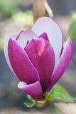 Flores de florescência da magnólia Imagens de Stock