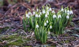 Flores de florescência da mola de Scilla do branco fotos de stock royalty free