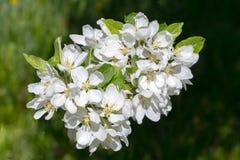 Flores de florescência da mola de uma Apple-árvore e de uma folha verde Fotos de Stock