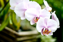 Flores de florescência da orquídea Fotos de Stock Royalty Free