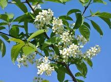 Flores de florescência das flores de cerejeira selvagens contra um céu ensolarado azul brilhante da mola Fotos de Stock