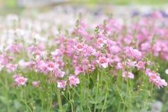 Flores de florescência de Twinspur Foto de Stock