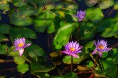 Flores de florescência do Água-lírio em uma lagoa Fotografia de Stock Royalty Free