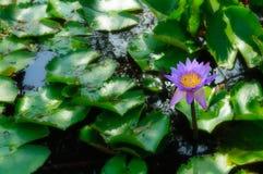 Flores de florescência do Água-lírio em uma lagoa Imagens de Stock Royalty Free