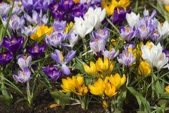 Flores de florescência do açafrão Fotos de Stock