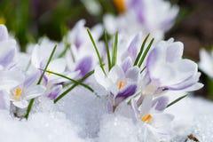 Flores de florescência do açafrão Foto de Stock