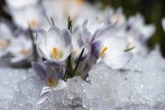 Flores de florescência do açafrão Imagem de Stock