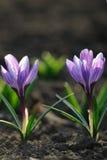 Flores de florescência do açafrão da mola Imagem de Stock