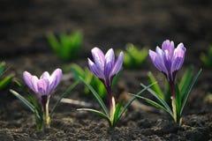 Flores de florescência do açafrão da mola Fotografia de Stock Royalty Free
