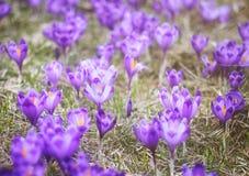 Flores de florescência do açafrão da mola da cor roxa Imagem de Stock Royalty Free