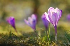 Flores de florescência do açafrão da primavera Imagens de Stock