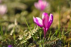 Flores de florescência do açafrão da primavera Imagem de Stock Royalty Free
