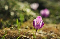 Flores de florescência do açafrão da primavera Fotografia de Stock