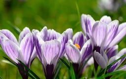 Flores de florescência do açafrão na luz solar da mola Fotografia de Stock Royalty Free
