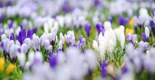 Flores de florescência do açafrão no parque Paisagem da mola Fotografia de Stock