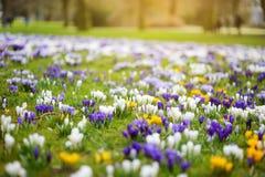Flores de florescência do açafrão no parque Paisagem da mola Imagens de Stock