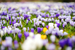 Flores de florescência do açafrão no parque Paisagem da mola Foto de Stock