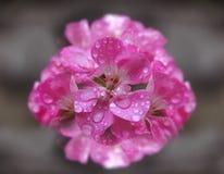 Flores de florescência do açafrão do rosa bonito com folhas Fotos de Stock
