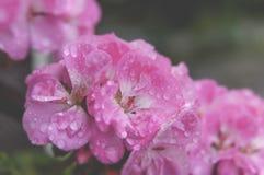 Flores de florescência do açafrão do rosa bonito com folhas Imagem de Stock