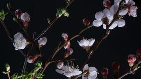 Flores de florescência do abricó video estoque