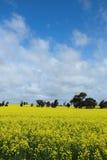 Flores de florescência do canola fotos de stock royalty free