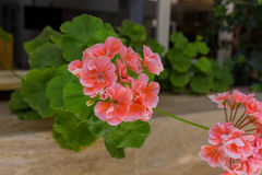 Flores de florescência do gerânio Imagens de Stock Royalty Free