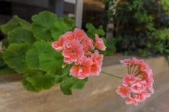 Flores de florescência do gerânio Foto de Stock Royalty Free