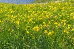 Flores de florescência do hemerocallis imagens de stock