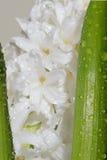 Flores de florescência do jacinto Foto de Stock