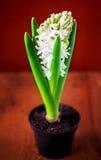 Flores de florescência do jacinto fresco branco Imagens de Stock