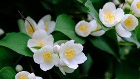 Flores de florescência do jasmim em um ramo video estoque