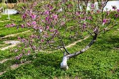 Flores de florescência do pêssego na mola Imagens de Stock Royalty Free