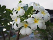 Flores de florescência do plumeria Imagens de Stock