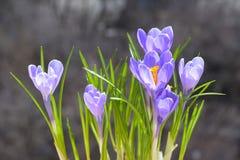 Flores de florescência do rocus do  de Ñ€urple Ñ Imagem de Stock Royalty Free