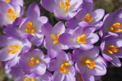 Flores de florescência dos açafrões Fotografia de Stock Royalty Free