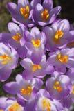 Flores de florescência dos açafrões Imagens de Stock