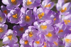Flores de florescência dos açafrões Imagem de Stock Royalty Free