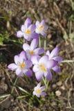 Flores de florescência dos açafrões Fotos de Stock Royalty Free