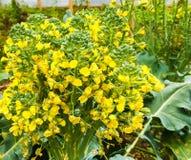 Flores de florescência dos brócolis do amarelo brilhante Foto de Stock