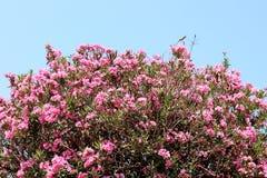 Flores de florescência dos oleandros cor-de-rosa contra o céu azul da mola imagem de stock royalty free