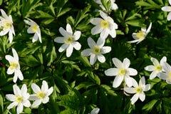 Flores de florescência dos snowdrops no branco com folha verde na mola adiantada Fotografia de Stock Royalty Free