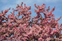 Flores de florescência frescas bonitas surpreendentes da árvore de maçã contra o fundo do céu azul Imagens de Stock