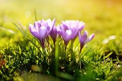 Flores de florescência maravilhosas do açafrão com fundo ensolarado Imagens de Stock Royalty Free
