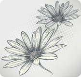 Flores de florescência Osteospermum, mão-desenho. Vecto ilustração do vetor